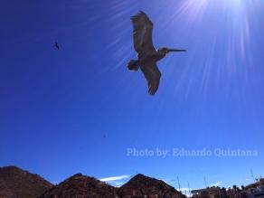 A pelican flying overhead